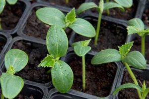 Правильные сроки посадки огурцов семенами и высадки рассады в грунт