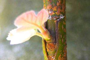 Прививка деревьев — основные понятия, метод окулировки