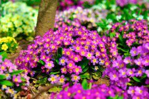 Примула (Primula) - основные характеристики