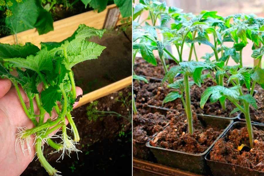 Размножение пасынками помидоров и огурцов