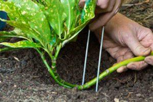 Размножение растений отводками - видео
