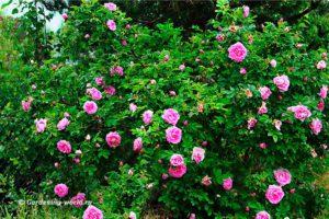 Роза морщинистая - красавица без труда, фото