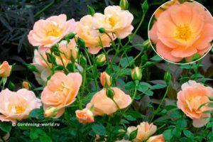 Розы Oso Easy Peachy Cream, персикового цвета