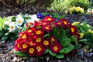 Стратификация семян, простой способ вырастить примулу и другие многолетники