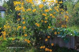Топинамбур - съедобный красавец