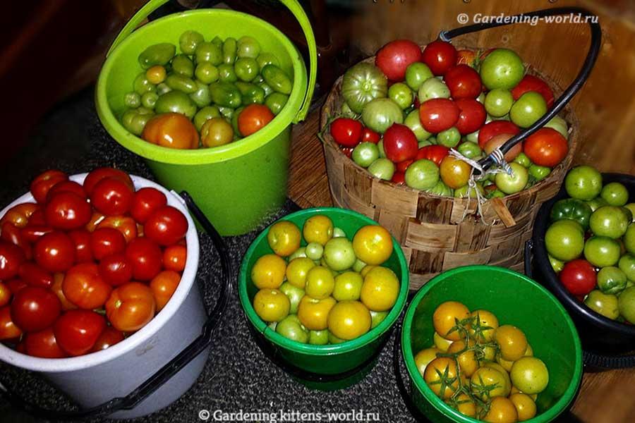 Урожайность томатов - 9 полезных фактов