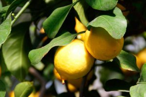 Уход за лимоном в квартире