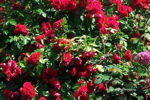 Уход за плетистой розой с весны до осени