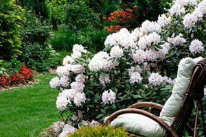Уход за рододендроном осенью