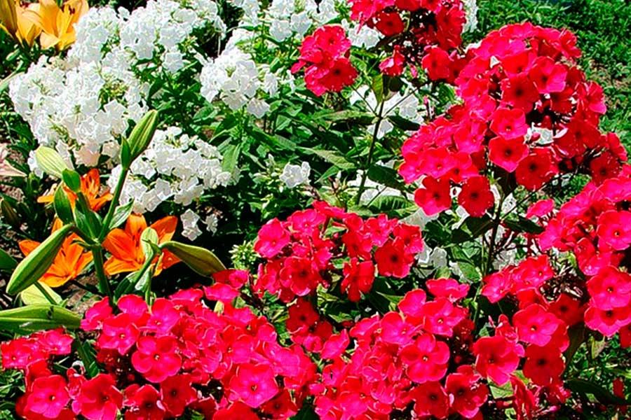 Флоксы из семян - особенности выращивания и варианты посадки