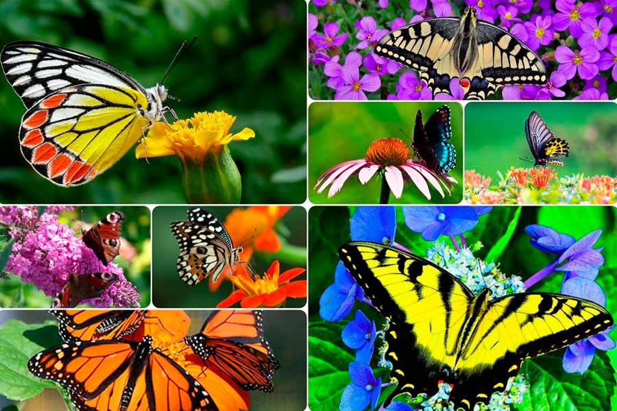 Цветник - «Сад бабочек». План, схема, фото цветов