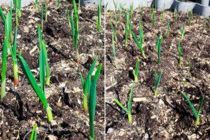 Чем подкормить чеснок весной