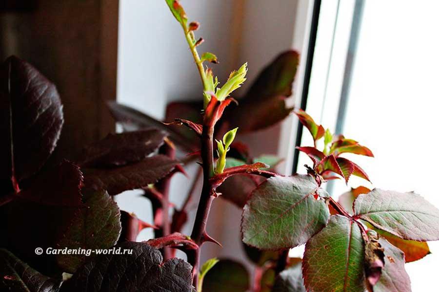 Черенкование роз осенью в домашних условиях