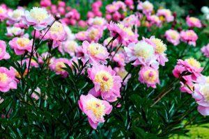 Что делать, если не успели посадить пионы осенью
