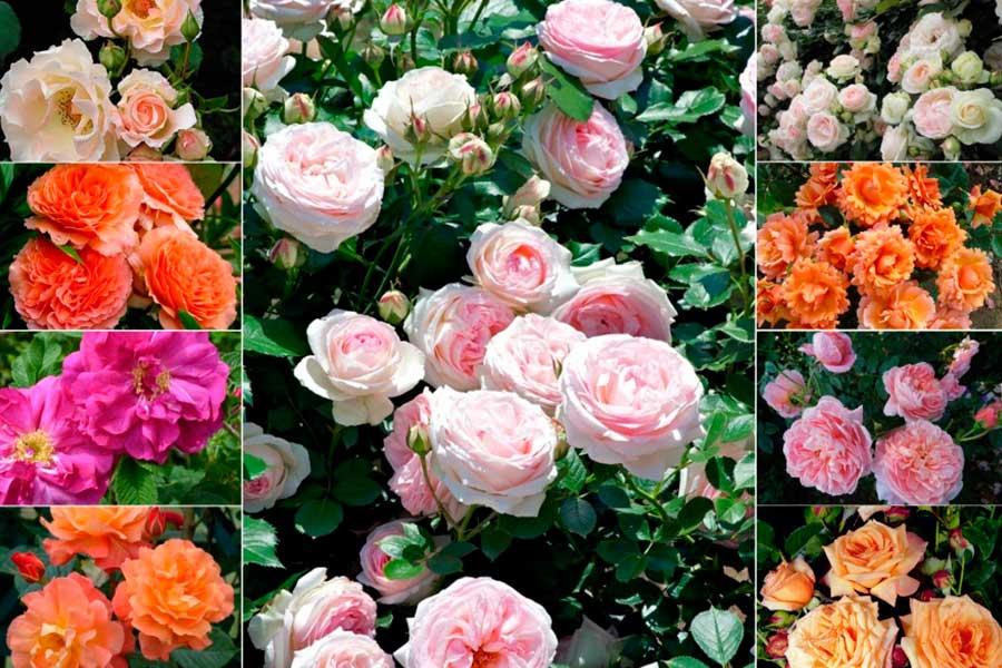 Шрабы - что это за розы Главные отличительные особенности