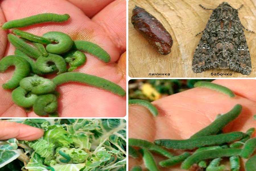 Вредители капусты - капустная совка