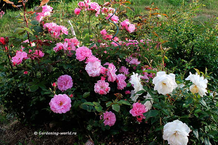 Подготовка места и посадка роз