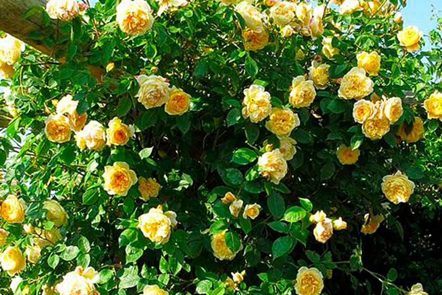6 секретов успешного выращивания роз