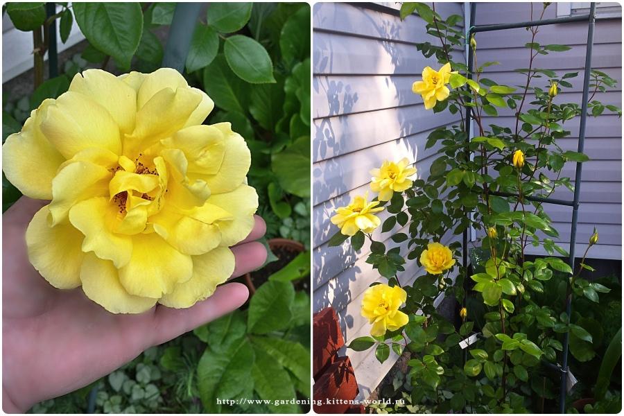 Укрытие плетистой розы