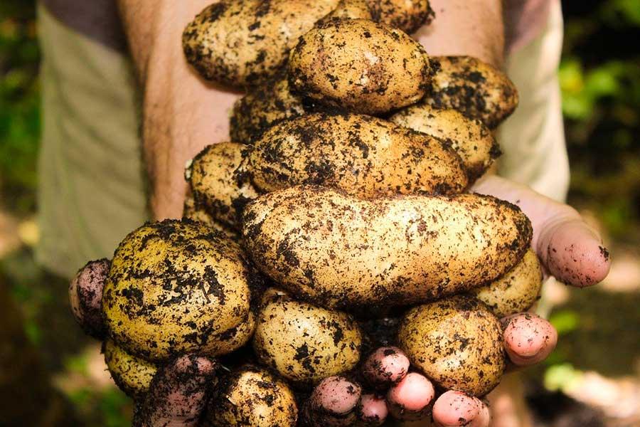 Штраф за картошку! Садоводы удивляются новому закону