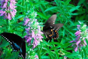 6 незаменимых многолетних трав в саду и дома