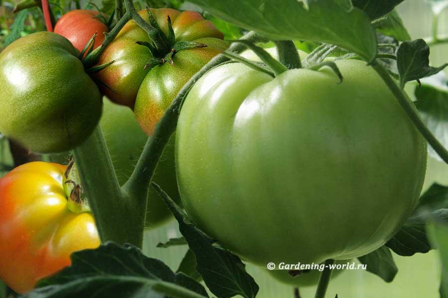 Обработка томатов йодом