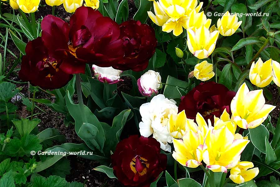 про тюльпаны