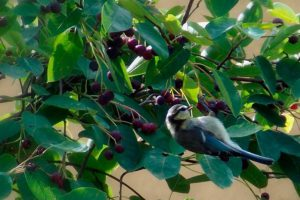 Птицы клюют ягоды