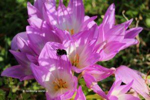 Цветущий безвременник — украшение осеннего сада