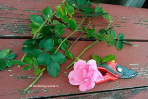 Как черенковать розы осенью — 7 правил размножения