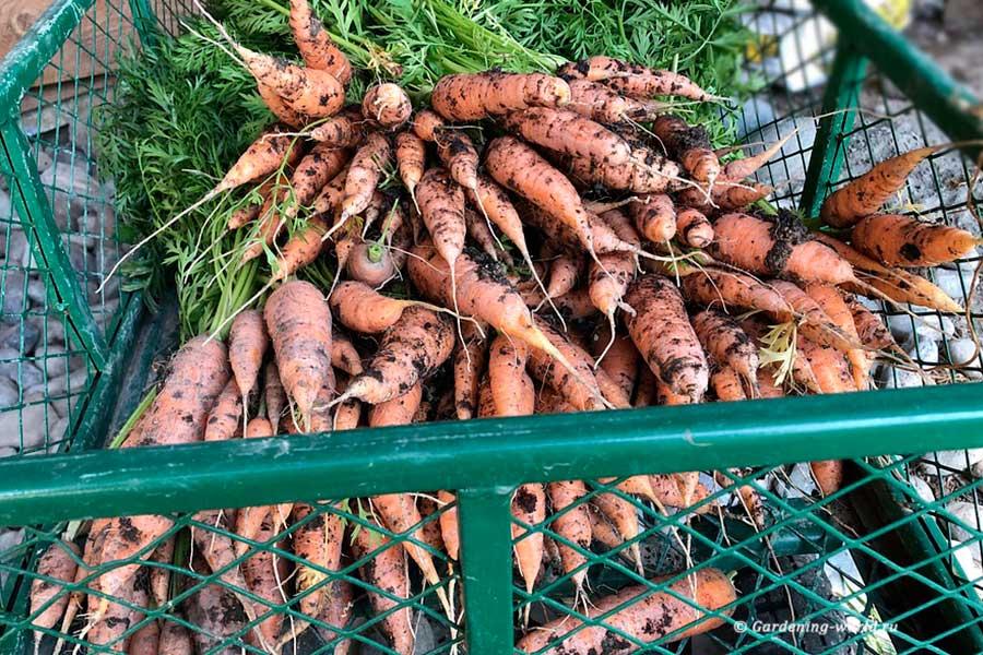 Хранение моркови на зиму – разбор ошибок