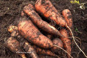Как сохранить морковь на грядке, не выкапывая
